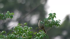 Streak-eared Bulbul is scouting Stock Footage
