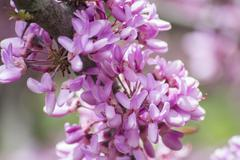 Judas tree flower (Cercis siliquastrum) - stock photo