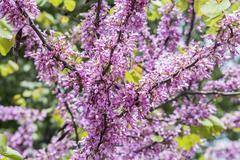 Judas tree flower (Cercis siliquastrum) - stock photo