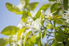 Orange blossoms in spring - stock photo