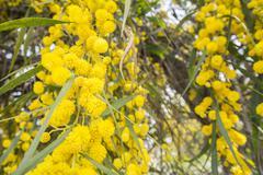 Acacia dealbata flower (silver wattle, blue wattle or mimosa) - stock photo