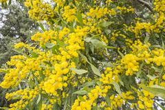 Acacia dealbata flower (silver wattle, blue wattle or mimosa) Stock Photos