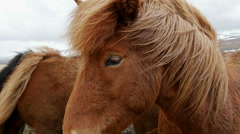 Close up from two Icelandic horses in cold windy weather Stock Footage