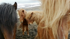 Group Icelandic horses in cold windy weather Stock Footage