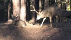 Winning Buck in Rut Makes Fawn Get Up--Gives Subtle Call to does Stock Footage