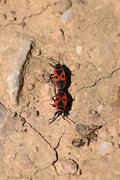 two firebug insects - stock photo