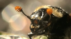 The American burying beetleinsect  macro Stock Footage