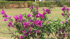 Flowers near by St.Catherine Cathedral in Old Goa, India Stock Footage
