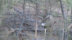 Dominant Buck Walks Through A Thicket Filled with Buck Rubs Stock Footage