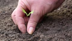 Gardener planted young plant in the soil Stock Footage