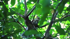 Tree Squirrel Eating a Nut Stock Footage