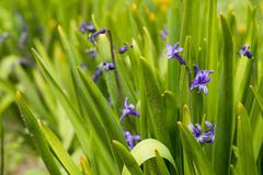 Blue hyacinth bunch outdoors - spring flowe Stock Photos