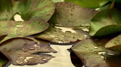 Stock Video Footage of 20140713 Lily Pads [4K, UHD]
