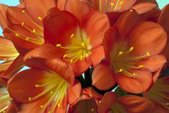 Clivia or St. Joseph Plant is a genus of the daffodil family - stock photo