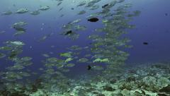 UHD underwater shot close approach to schooling tropical fishes Stock Footage