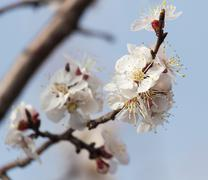 beautiful flowers on a tree in spring - stock photo