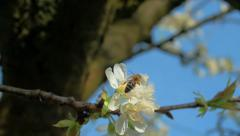 HD Slow-Mo: Working Bee Fly Away from Flower Stock Footage