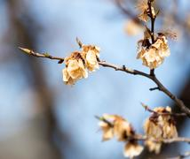 dead flowers on the tree in spring after frost - stock photo