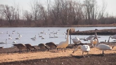 Upwards pan of pond full of tundra swans and geese Stock Footage