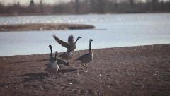 Canadian geese taking flight Stock Footage