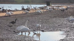 Tundra swans drink while canadian goose walks by Stock Footage