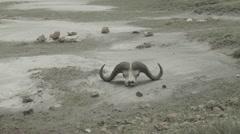 Africa buffalo skull Stock Footage