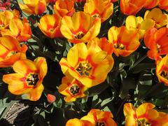 Red-Yellow Tulips   (Holland) - stock photo