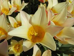 Close Up of Yellow Tulip   (Holland) - stock photo