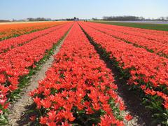 Red Tulips on fields in Holland - stock photo