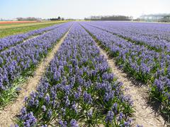 Blue Hyacinths on fields   (Holland) - stock photo