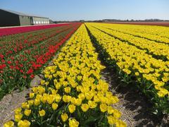 Yellow Tulips (Yellow of Purissima) - stock photo