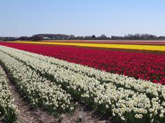 Collered fields with Daffodils and Tulips   (Holland) - stock photo