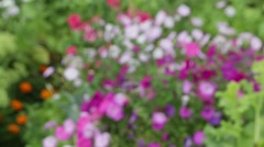 White and purple petunia and orange flowers in green leaves Stock Footage