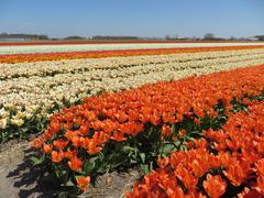 Orange tulips on field in Holland - stock photo