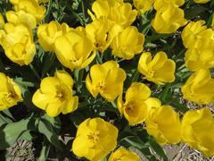 Yellow Tulips blooming in the spring   (Holland) - stock photo