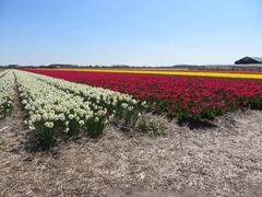 Colered tulip fields in Holland - stock photo