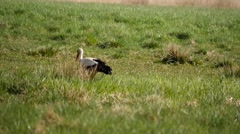Stork on  grass moves and search a food - shot without sound Stock Footage