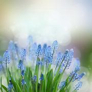 Muscari flowers Stock Photos