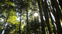 Tasmanian beech forest Stock Footage