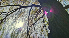 Swamp Weeping Willow Tree Lens Flare - 25FPS PAL Stock Footage