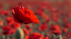 Beautiful Field Poppy Swaying On Breeze - stock footage