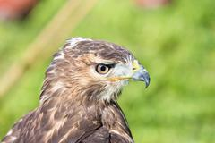 Watchful eyes of the hawk Stock Photos