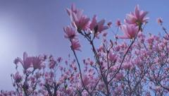 Pink Saucer Magnolia Under Blue Spring Sky - 29,97FPS NTSC - stock footage