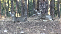 Bedded Mule Deer Fawns Chew Cud With Doe in BG Stock Footage