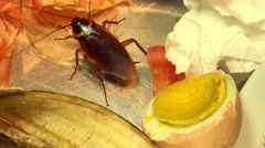 The American massive cockroach that hides between the kitchen food residues. Stock Footage