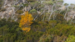 deciduous beech tree - stock footage