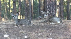 Two Mule Deer Fawns Bedded, Chewing Their Cuds. Stock Footage