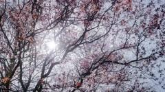 Stock Video Footage of Cherry Plume Prunus Tree Spring Sunshine Lense Flare - 25FPS PAL