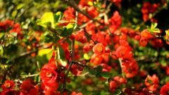 Chaenomeles Superba Nicoline Flowers in Sunny Spring Breeze - 25FPS PAL Stock Footage