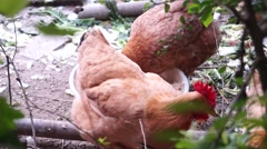 Poultry farms Stock Footage